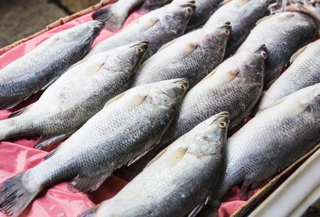 Barramundi as table fish