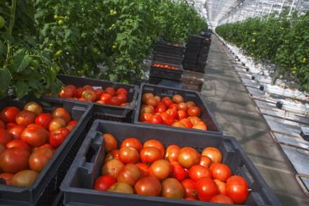 italian tomato harvest